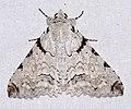 Erebid Moth (Orodesma apicina) (40968922911).jpg