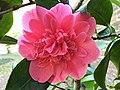 Ericales - Camellia cultivars - 7.jpg