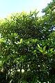 Eriobotrya japonica kz02.jpg
