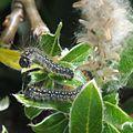 Eriogaster arbusculae2 RF.jpg