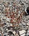 Eriogonum nidularium 1.jpg
