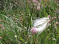 Eriophorum angustifolium - Drents-Friese Wold.jpg