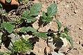 Erodium chium kz04.jpg