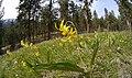 Erythronium grandiflorum ssp. grandiflorum 11.jpg