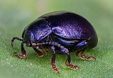 220px-Escarabajo_(Chrysolina_sturmi),_Ha