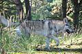 Eska der Tschechoslowakische Wolfhund im Wald 3.jpg
