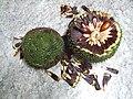 Estróbilo feminino do pinheiro-do-paraná.JPG