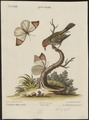Estrilda melba - 1700-1880 - Print - Iconographia Zoologica - Special Collections University of Amsterdam - UBA01 IZ15900155.tif