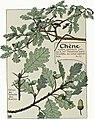 Etude de la plante - p.90 fig.117 - Chêne.jpg