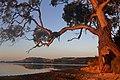 Eucalyptus (34892605920).jpg