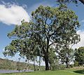 Eucalyptus crebra.jpg