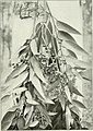 """Eucalyptus diversicolor from """"Eucalypts cultivated in the United States"""" (1902) (14596656487).jpg"""