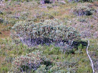 Eucalyptus luehmanniana - Yellow Top Mallee Ash at Ku-ring-gai Chase National Park, Australia