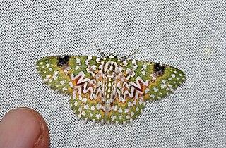 <i>Eucyclodes gavissima</i> species of insect