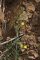 Eulobus californicus 7909.JPG