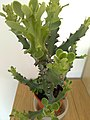 Euphorbia Mayurnathanii 023.jpg