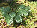 Euphorbia myrsinites.jpg