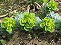 Euphorbia myrsinites flowers.jpg