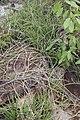 Euphorbia sobolifera O.L.M. Silva & P.J. Braun Bahia Brasil.jpg