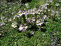 Euphrasia alpina Alpen-Augentrost.JPG