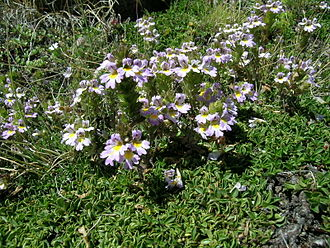 Euphrasia - Euphrasia alpina