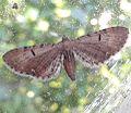 Eupithecia virgaureata vue de dessus 59210.jpg