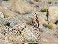 Eurasian Sparrowhawk (Accipiter nisus) (25239304127).jpg