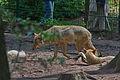 Europäischer Grauwolf (Canis lupus lupus) im Wolfcenter Barme (Dörverden) IMG 9033.jpg