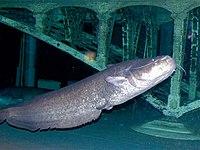 European Catfish (Silurus glanis) (13532570755).jpg
