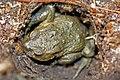 European Toad (Bufo bufo) (8619564142).jpg