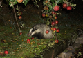 European badger (Meles meles).png
