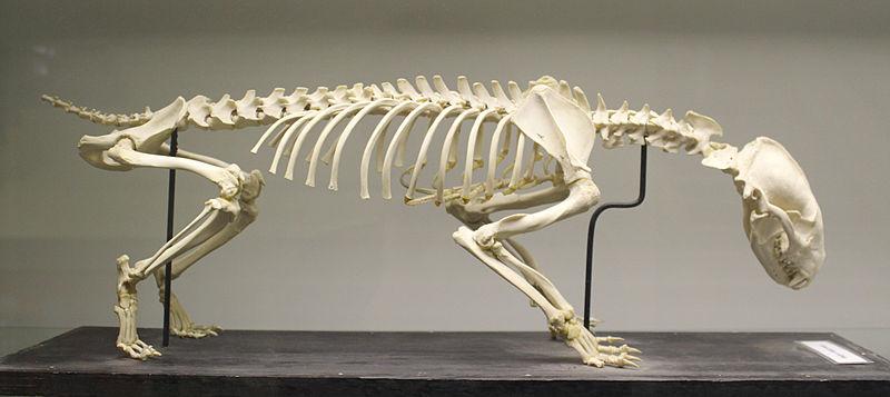 European badger (Meles meles) skeleton at the Royal Veterinary College anatomy museum.JPG