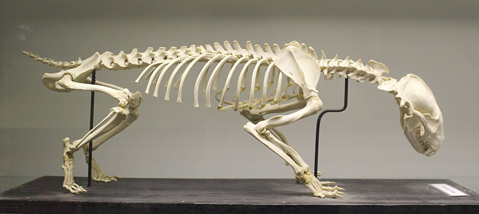 European badger (Meles meles) skeleton at the Royal Veterinary College anatomy museum.JPG