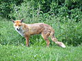 European red fox.jpg