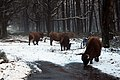 Even in the snow these Scottish cows must drink sometimes^ Lovely Deelerwoud - panoramio.jpg