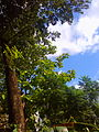 Evergreen tree.jpg