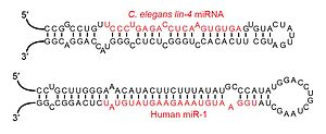 MicroRNA - Examples of miRNA stem-loops, with the mature miRNAs shown in red