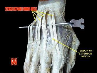 Extensor digitorum muscle - Image: Extensor digitorum muscles