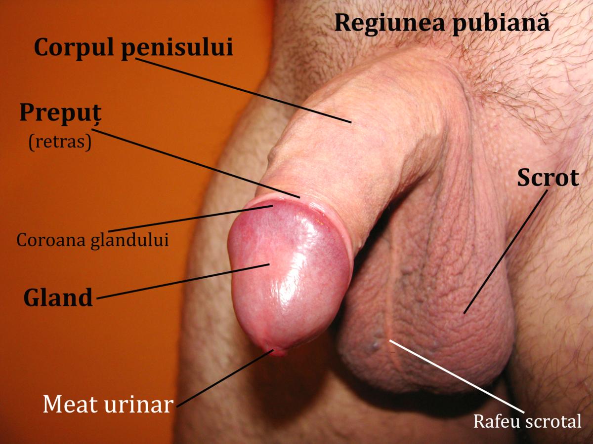 penisa i genitali)