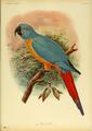 Extinctbirds1907 P15 Ara erythrura0311.png