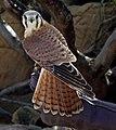 Falco sparvius5071clip.jpg