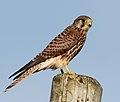 Falco tinnunculus Cudyll Coch (cropped).jpg