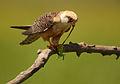 Falco vespertinus 1 (Martin Mecnarowski).jpg