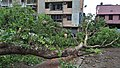 Fallen Bodhi Tree - 2018-04-17 Norwester Aftermath - Padmapukur Water Treatment Plant Road - Howrah 20180418081300.jpg