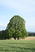 Famous tree Lípy u kapličky pod hřbitovem in Křeč, Pelhřimov District.jpg