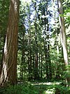 Tall evergreen trees in an old-growth forest