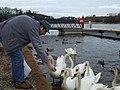 Feeding swans, Enniskillen - geograph.org.uk - 1750619.jpg