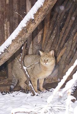 Felis-chaus-Sofia-Zoo-20120125.jpg