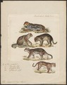 Felis pardalis - 1834 - Print - Iconographia Zoologica - Special Collections University of Amsterdam - UBA01 IZ22100244.tif