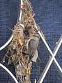 Female purple sunbird nest building..JPG